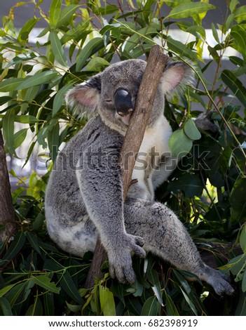 Koala Bear #682398919
