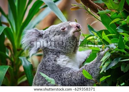 Koala Bear. A cute of koala #629358371