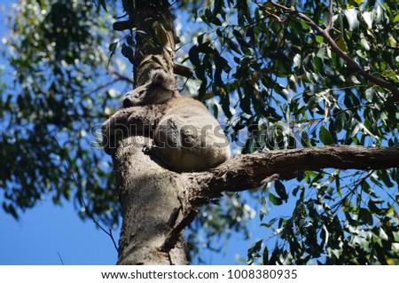 Koala Bear, Australia #1008380935