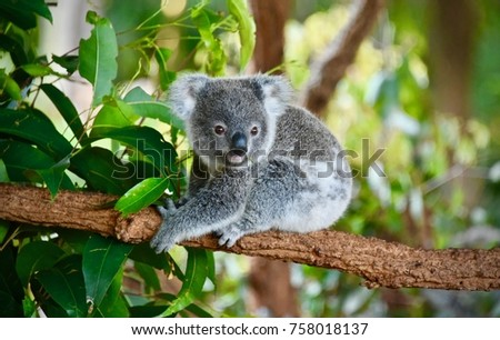 Koala Bear Australia #758018137