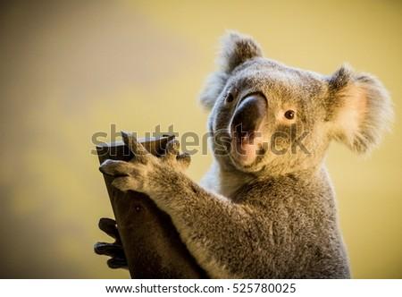 Koala bear climbing a branch in a zoo #525780025