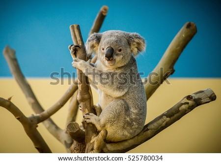 Koala bear climbing a branch in a zoo #525780034