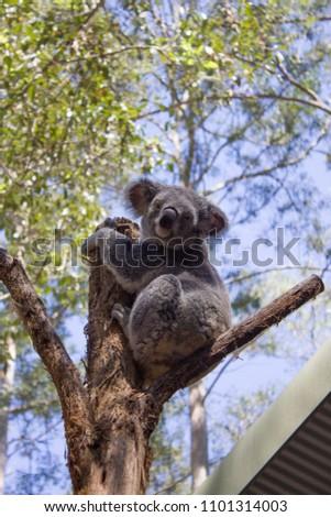 Koala bear in a sanctuary #1101314003