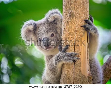 Koala Bear in zoo. #378712390