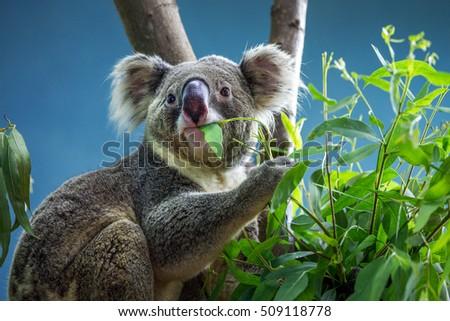 Koala Bear in zoo. #509118778