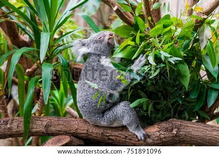 Koala Bear. koala on eucalyptus tree #751891096