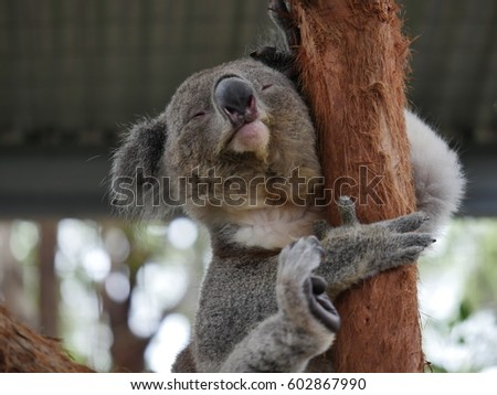 Koala Bear - taken in Australia with HQ camera #602867990