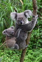 Koala carries baby on his back in the Zoo of Taipei (Taiwan) while sitting on a tree.