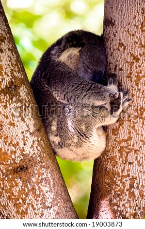 Koala caught while sleeping in a eucalyptus tree