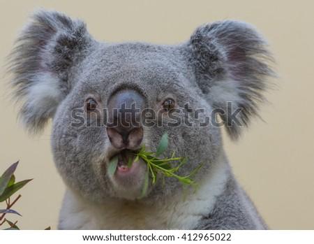 Koala closeup while eating #412965022