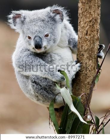 koala cub feeding