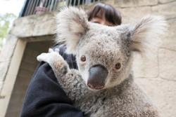 Koala cuddling experience in Australia