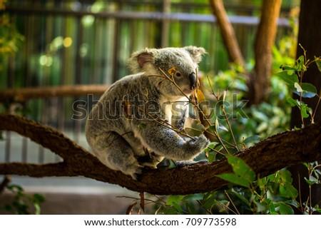 koala eating #709773598