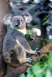 Koala eating eucalyptus leaves Libby Titus.