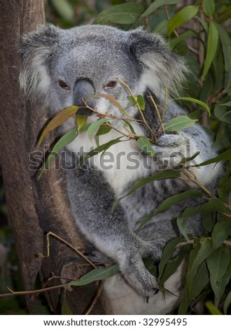 koala eating in tree