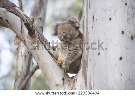 Koala, family of marsupials, sitting in tree in forest Australia, posing for camera, blurred background and copy space.