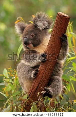Koala holds the tree trunk
