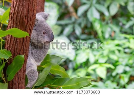 koala in northern Queensland, Australia #1173073603