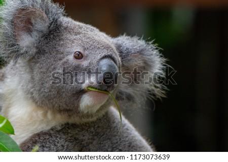 koala in northern Queensland, Australia #1173073639