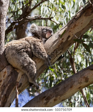 koala is sleeping on the tree