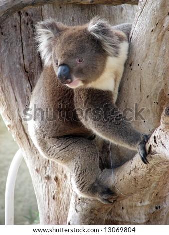 koala looking