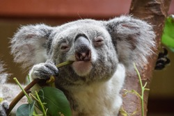 Koala looking into the camera while eating