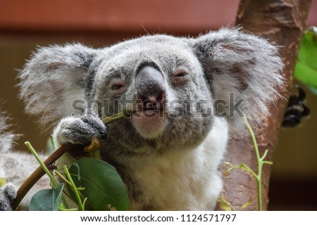 Koala looking into the camera while eating #1124571797