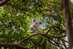 Koala on a branch of eucalyptus tree, Sydney, Australia