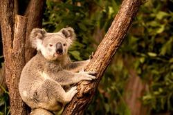 Koala on a tree, Australia