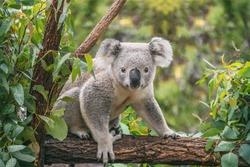 Koala on eucalyptus tree outdoor.