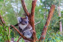 Koala or marsupial bear is a herbivorous marsupial mammal. Australia endemic. The only modern representative of the koal family. Ecotourism concept