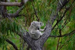 Koala ( Phascolarctos cinereus), Australia