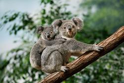 Koala, phascolarctos cinereus, Female carrying Young on its Back