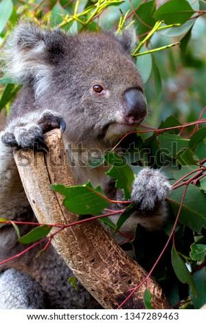 Koala,  (Phascolarctos cinereus), Kangaroo Island, South Australia, Australia.