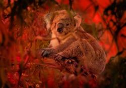 Koala - Phascolarctos cinereus on the tree in Australia, climbing on eucaluptus while the fire on the background. Burning forest in Australia.