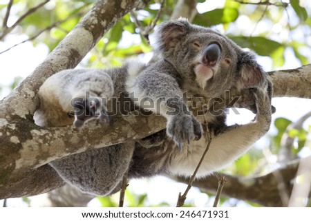 koala relaxing in a tree ...