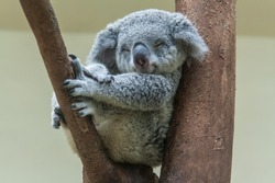 koala resting and sleeping on his tree with a cute smile