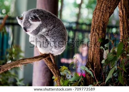 koala sleeping #709773589