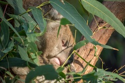 Koala sleeping in a tree.  The koalas face is just visible through the leaves of the gum tree.  Australian mammal.  Iconic Australian animal.