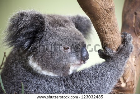koala wild animal sits eucalyptus tree branch close-up view of face fur and paw