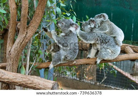 Koalas eating including mother and baby #739636378