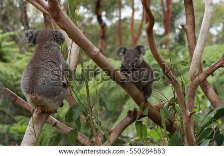 Koalas on the tree #550284883