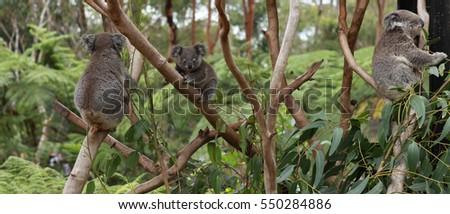 Koalas on the tree #550284886