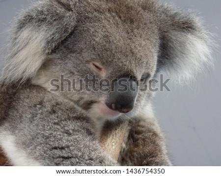 Koalas, Wombats, Australian Animals, Marsupials, Australian animals #1436754350