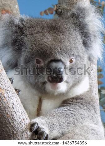 Koalas, Wombats, Australian Animals, Marsupials, Australian animals #1436754356