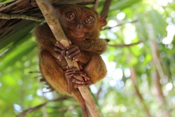 Kobold Maki - Philippine Tarsier, one of the smallest primates, Bohol, Philippines