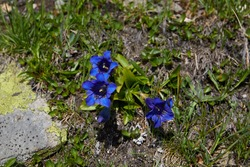 Koch gentians, located on a path in Pejo Valley (Val di Pejo), Trentino Alto Adige, Italy, summer 2020