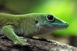 Koch's giant day gecko (Phelsuma madagascariensis kochi), also known as the Madagascar day gecko. Wildlife animal.