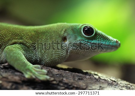 Koch\'s giant day gecko (Phelsuma madagascariensis kochi), also known as the Madagascar day gecko. Wildlife animal.
