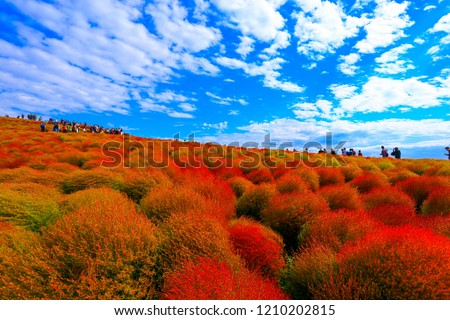 Kochia with hill landscape Mountain,at Hitachi Seaside Park in autumn with blue sky at Ibaraki, Japan #1210202815